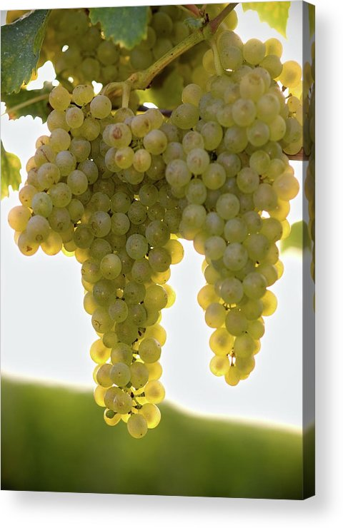 Sonoma County Acrylic Print featuring the photograph Golden Wine by Farbenrausch
