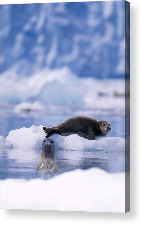 Animal Themes Acrylic Print featuring the photograph Harbor Seal Phoca Vitulina In Glacial by Paul Souders