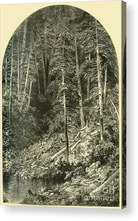 Engraving Acrylic Print featuring the drawing Pine Forest On West Branch by Print Collector