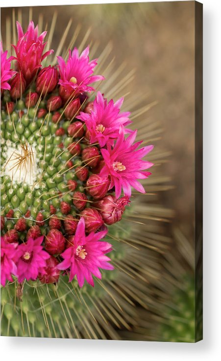 Bud Acrylic Print featuring the photograph Pink Cactus Flower In Full Bloom by Zepperwing