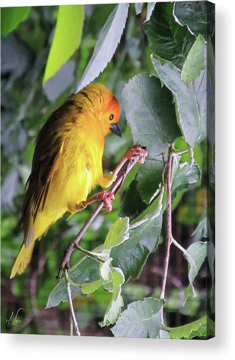 Sun Conure Parakeet Acrylic Print featuring the photograph A Sun Conure Parakeet enjoying the sun by D Lee