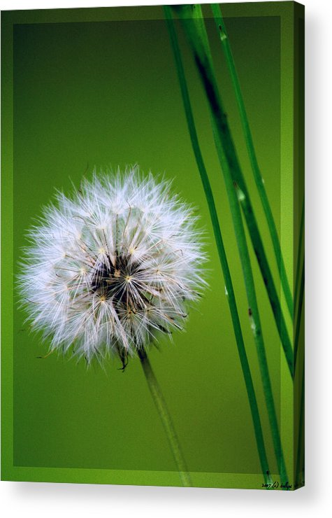 Dandelion Acrylic Print featuring the photograph Waiting for the Winds of Deliverance by Holly Kempe