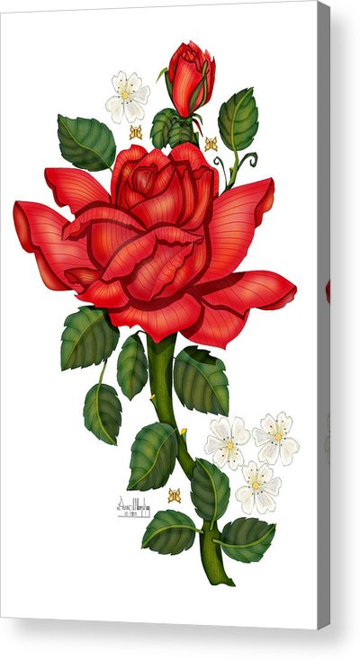 Hand-drawn Digital Art; Hand-drawn Digital Rose; Digital Rose; Anne Norskog Rose; Red Rose; Red Rose On White Background Acrylic Print featuring the painting Christmas Rose 2011 by Anne Norskog
