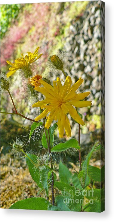 Flowers Acrylic Print featuring the photograph Fuzzy by Larry Keahey