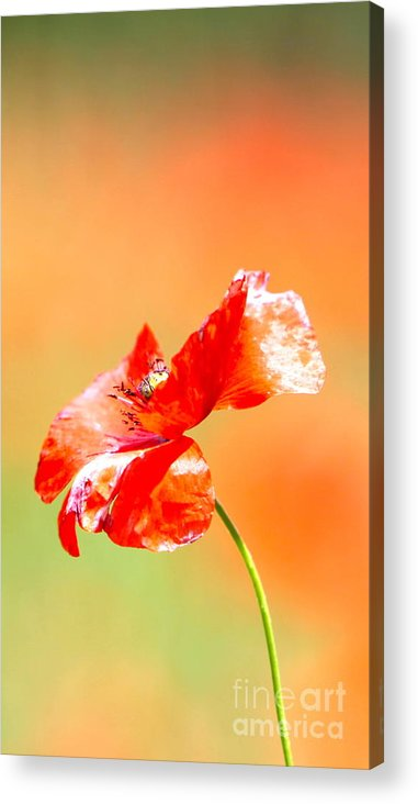 Poppy Acrylic Print featuring the photograph Tuscan Poppy by Nadine Rippelmeyer