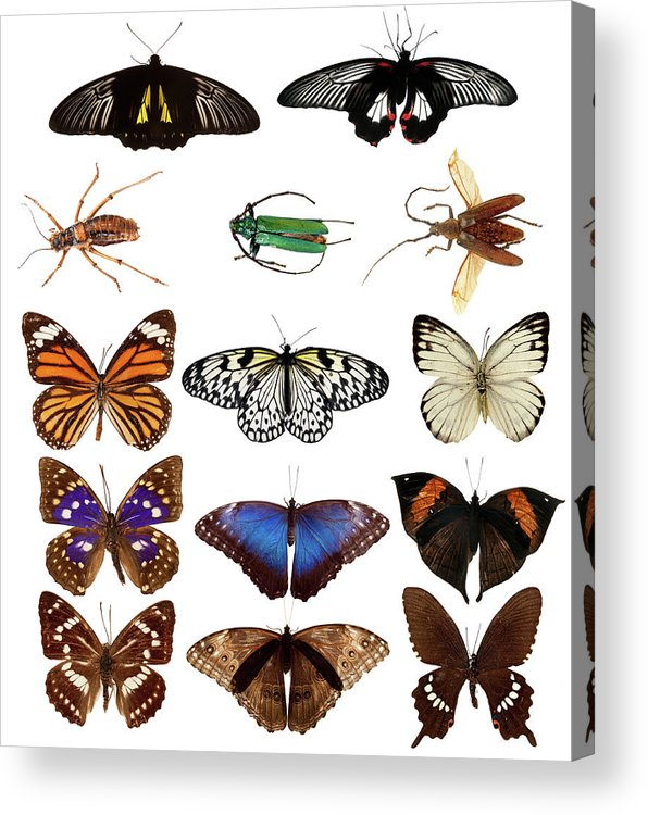 Common Blue Butterfly Acrylic Print featuring the photograph Butterflies And Beetles by Mashabuba