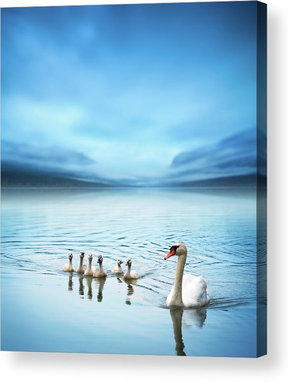 Scenics Acrylic Print featuring the photograph Swan Family On The Lake by Borchee