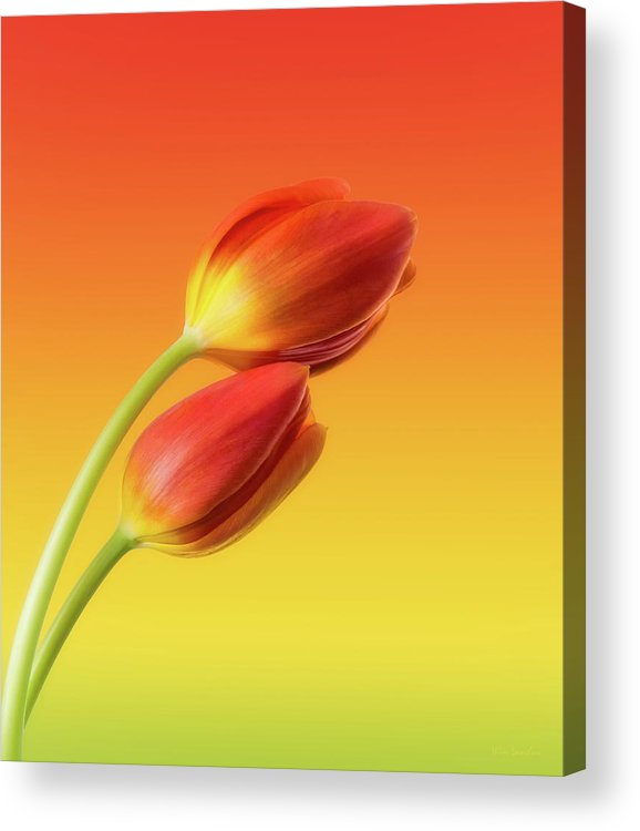 Tulips Acrylic Print featuring the photograph Colorful Tulips by Wim Lanclus
