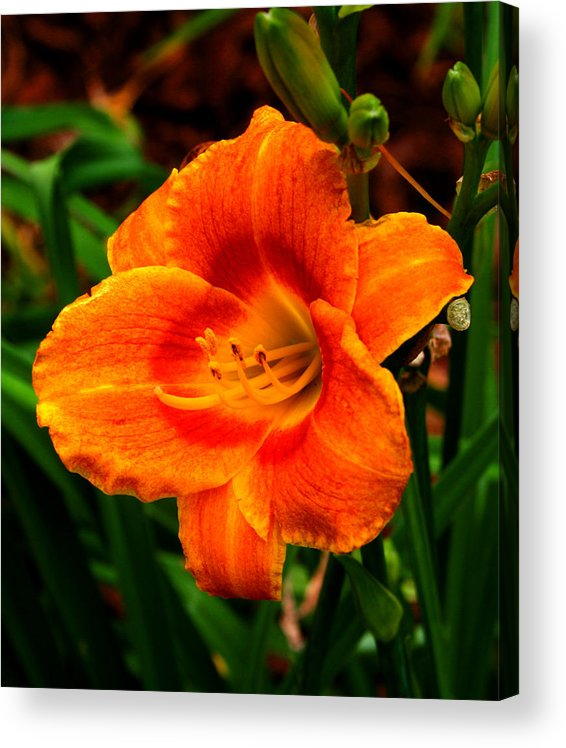 Liliy Acrylic Print featuring the photograph Heart Lily by Paul Anderson