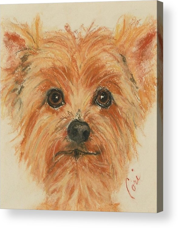Pastel Acrylic Print featuring the drawing Lil Rascal by Cori Solomon