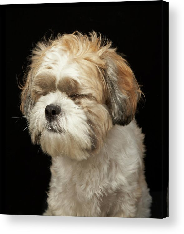 Pets Acrylic Print featuring the photograph Brown And White Shih Tzu With Eyes by M Photo