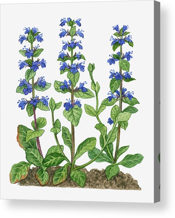 Watercolor Painting Acrylic Print featuring the digital art Illustration Of Ajuga Reptans Blue by Michelle Ross