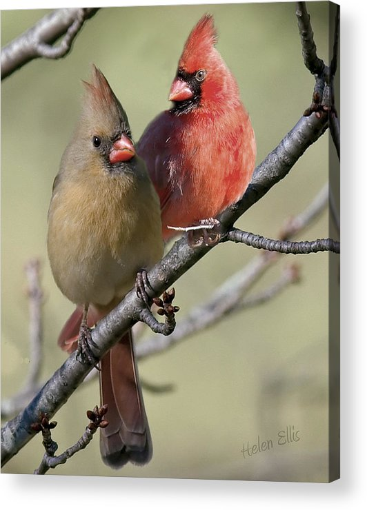 Nature Acrylic Print featuring the photograph Cardinal Couple by Helen Ellis