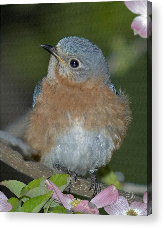 Nature Acrylic Print featuring the photograph Lady In Blue by Helen Ellis