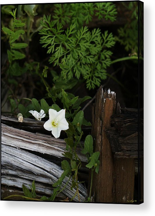 Flora Acrylic Print featuring the photograph A Hobo by Daniel G Walczyk