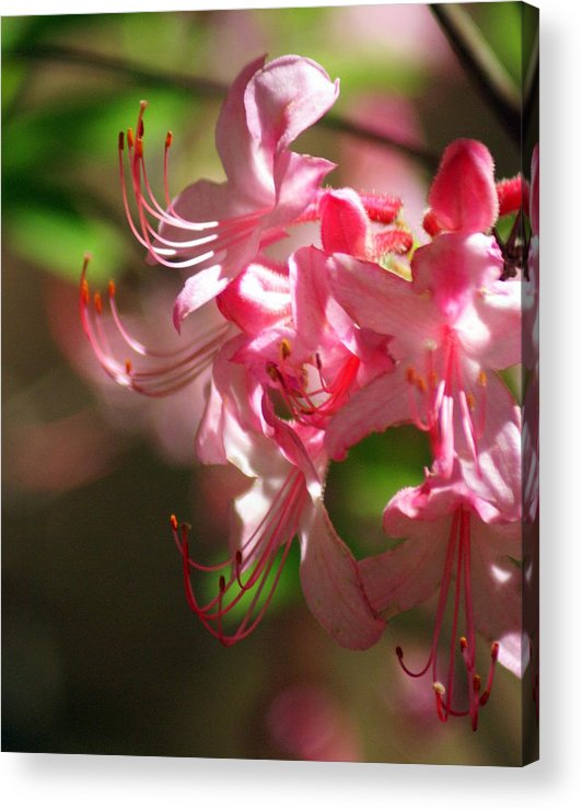 Flowers Acrylic Print featuring the photograph Pretty Pink by Marty Koch