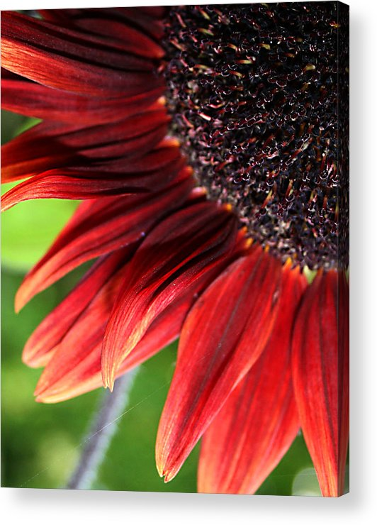 Red Acrylic Print featuring the photograph Sunflower by Carol Hicks