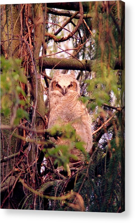 Owl Acrylic Print featuring the photograph 070406-31 by Mike Davis