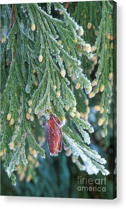 North America Acrylic Print featuring the photograph Hoarfrost On Pine Bough Yosemite National Park by Dave Welling