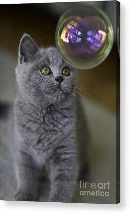 Cat Acrylic Print featuring the photograph Archie With Bubble by Sheila Smart Fine Art Photography