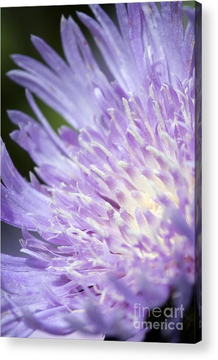 Aster Acrylic Print featuring the photograph Aster Bloom by Jeannie Burleson