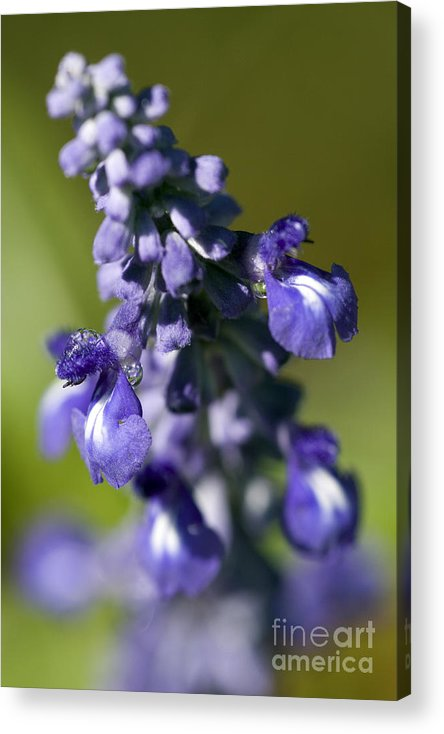 Purple Acrylic Print featuring the photograph Catch The Dew by Jeannie Burleson