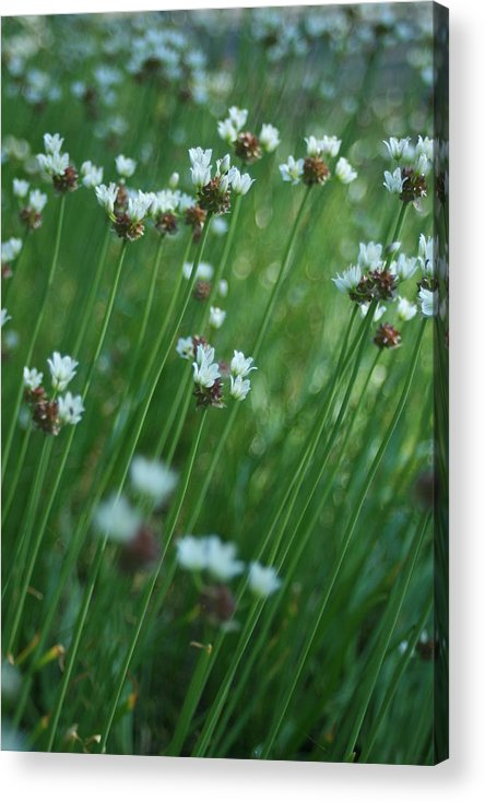 Flowers Acrylic Print featuring the photograph Field Of Tiny Flowers by Christopher Larimore