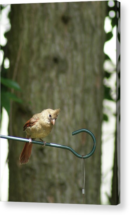 American Red Cardinal Acrylic Print featuring the photograph Fledgling Cardinal by Margie Avellino