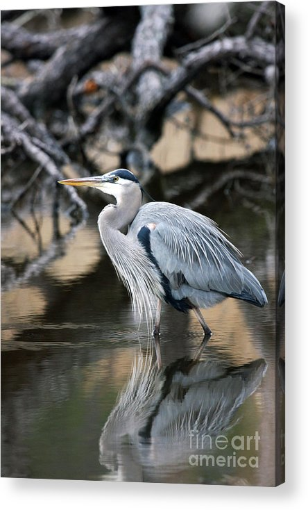 Great Blue Heron Acrylic Print featuring the photograph Heron Wading by J L Gould