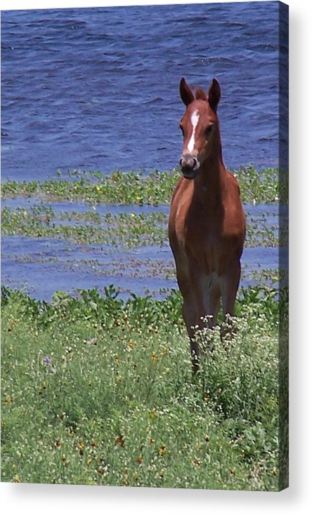 Horse Acrylic Print featuring the photograph Look At Me by Lilly King