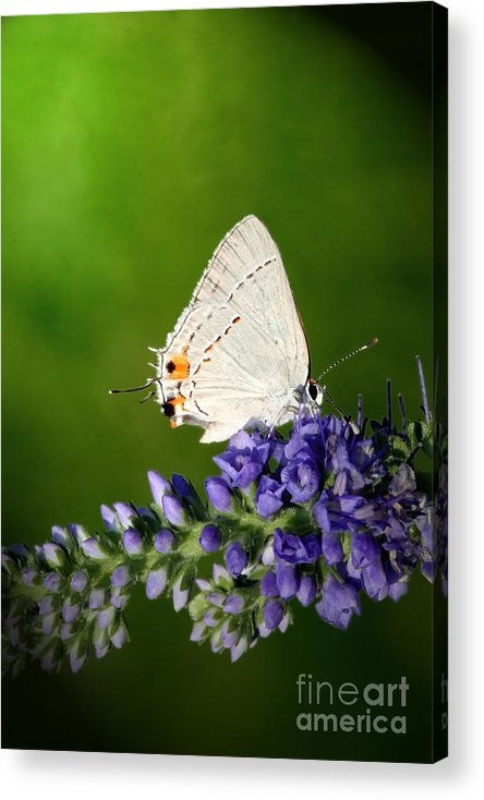 Marius Acrylic Print featuring the photograph Marius Hairstreak Butterfly by Jeannie Burleson