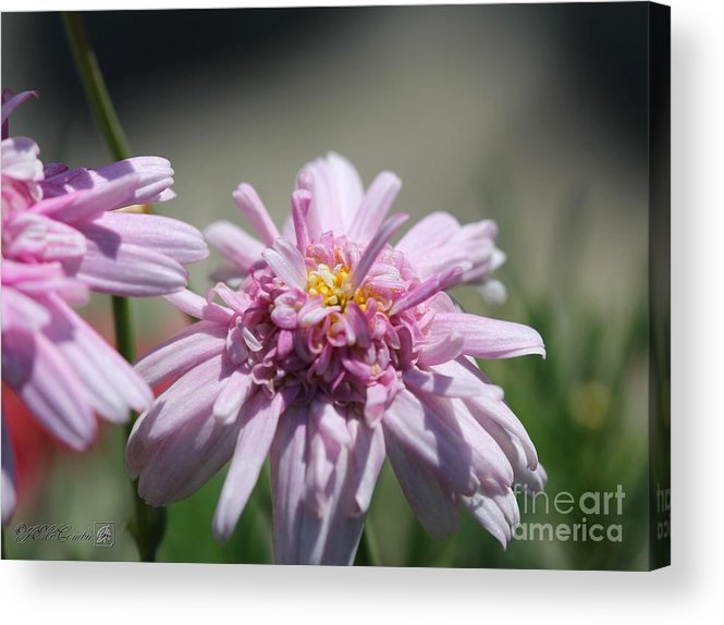 Mccombie Acrylic Print featuring the photograph Marguerite Daisy Named Double Pink by J McCombie