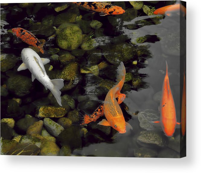 Nature Acrylic Print featuring the photograph Swimming Koi by Joel Zimmerman