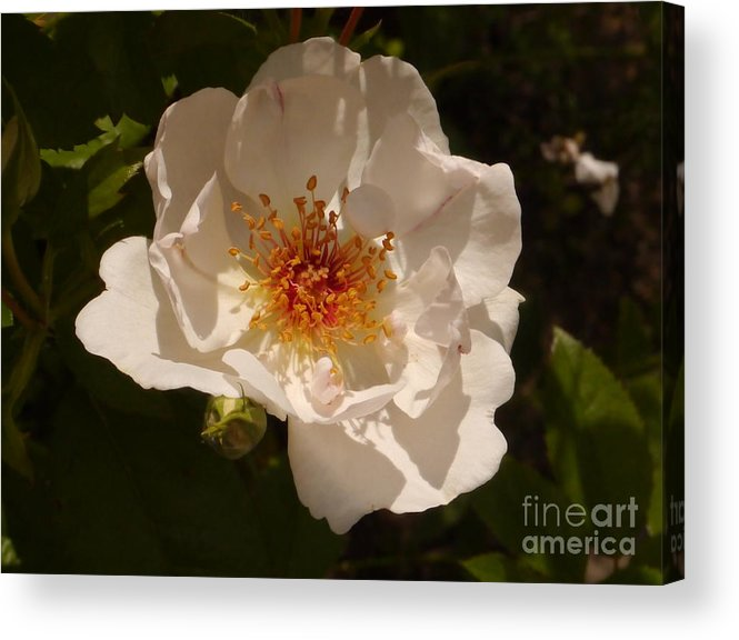 White Rose Acrylic Print featuring the photograph White Rose by Christiane Schulze Art And Photography