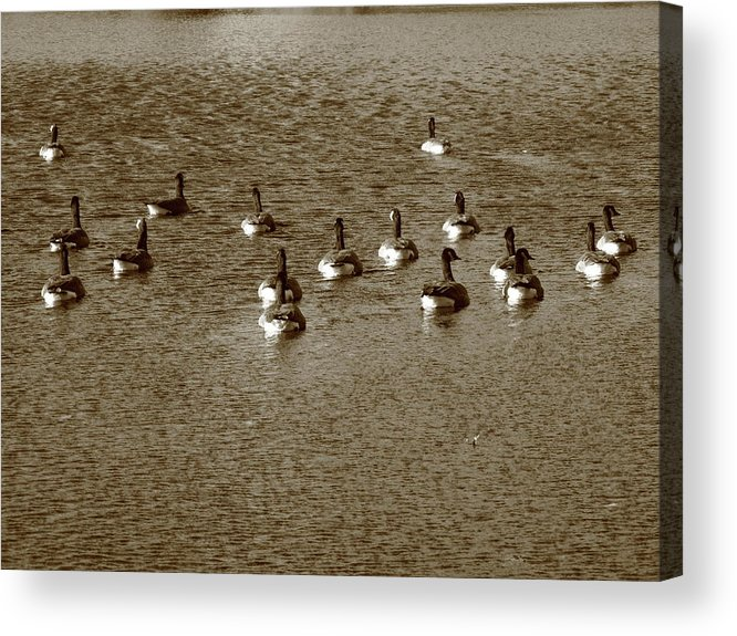 Animals Acrylic Print featuring the photograph Wild Birds And Pond by Frank Romeo