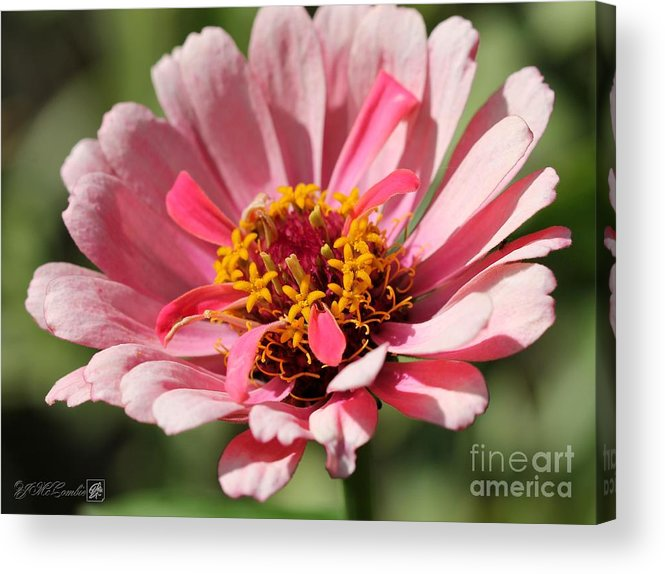 Mccombie Acrylic Print featuring the photograph Zinnia From The Whirlygig Mix by J McCombie