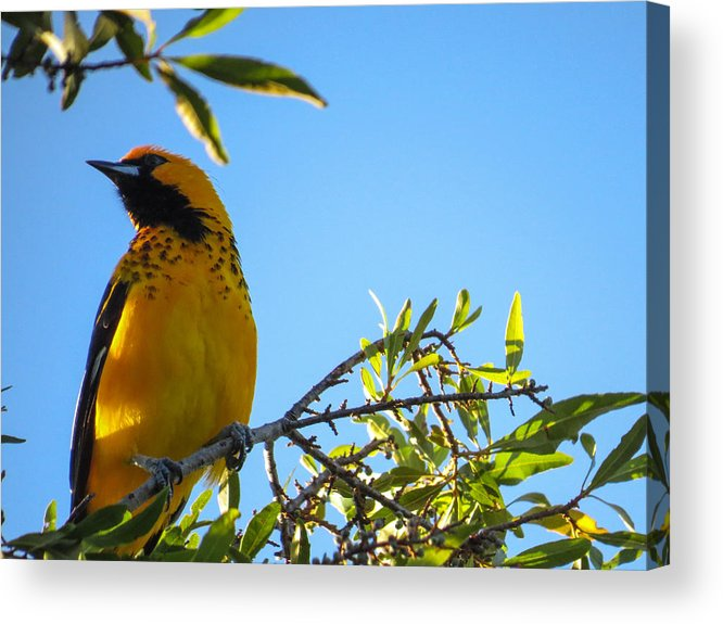 Bird Acrylic Print featuring the photograph Spot Breasted Oriole by Dart and Suze Humeston