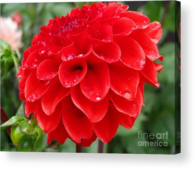 Mccombie Acrylic Print featuring the photograph Dahlia Named Ali Oop by J McCombie