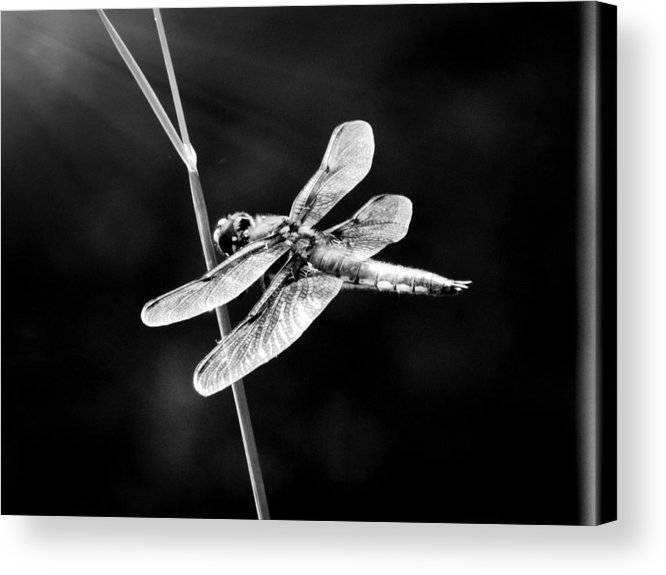 Dragonfly Acrylic Print featuring the photograph Resting In Sunshine by Zinvolle Art