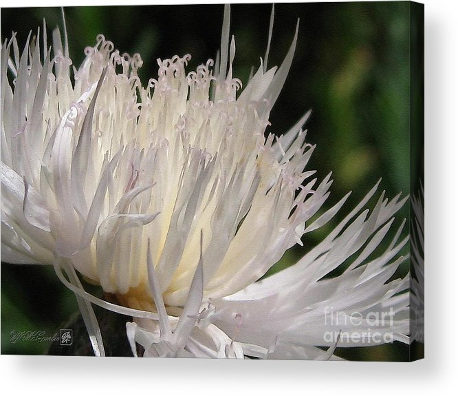 Centaurea Acrylic Print featuring the painting Centaurea Named The Bride by J McCombie