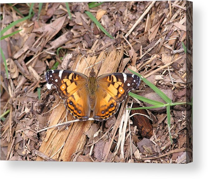 Butterfly Acrylic Print featuring the photograph American Lady In Big Thicket by John Thornton