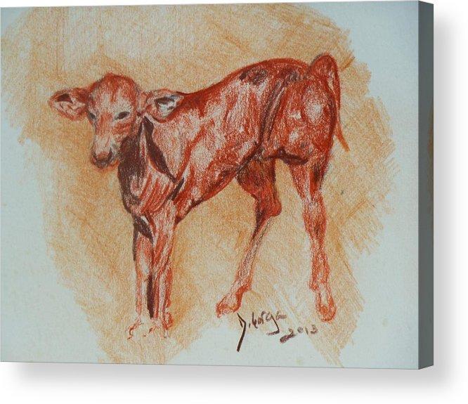 Baby Animals Acrylic Print featuring the drawing Baby Calf by Deborah Gorga