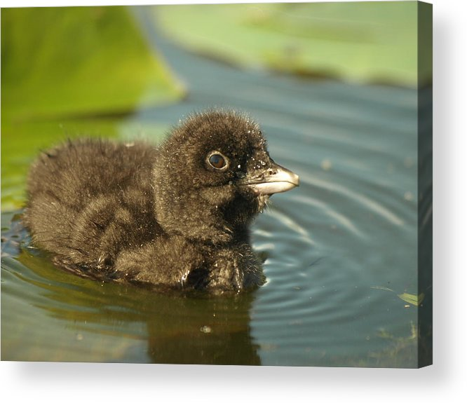 Common Loon Acrylic Print featuring the photograph Baby Loon by James Peterson