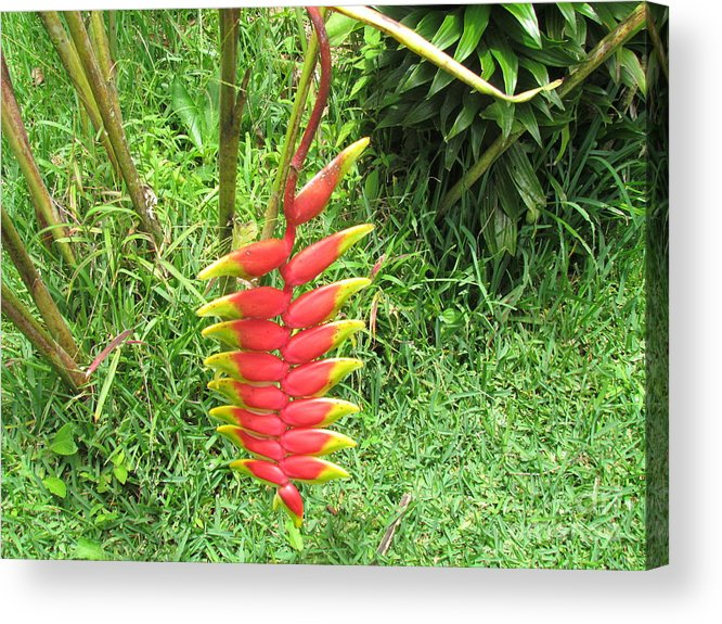 Panama Acrylic Print featuring the photograph Barriles Heliconia by Ted Pollard