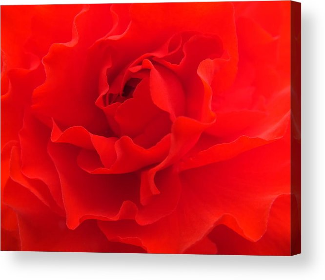 Red Acrylic Print featuring the photograph Begonia by Emma Manners