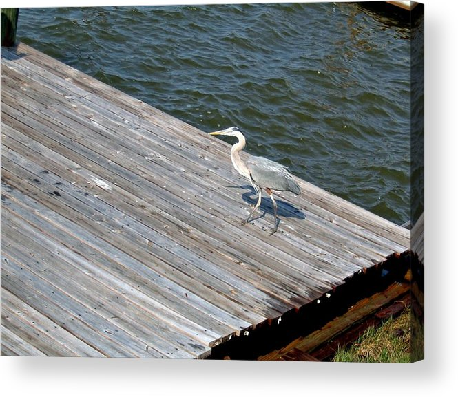 Photograph Acrylic Print featuring the photograph Blue Heron On Dock by Marian Bell