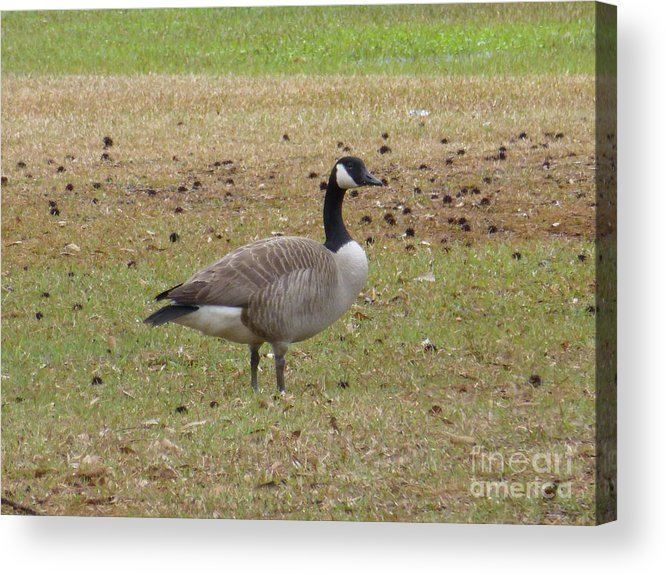 Tree Acrylic Print featuring the photograph Canadian Goose Strutting by Joseph Baril