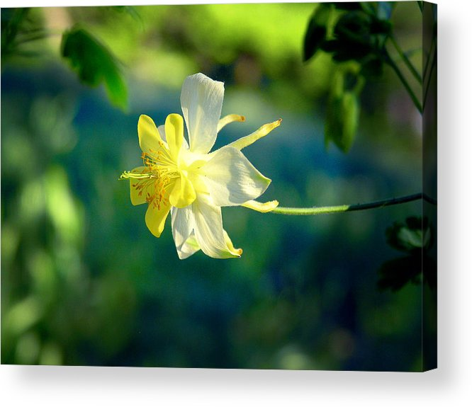 Yellow Acrylic Print featuring the photograph Columbine Flower by April Dunlap