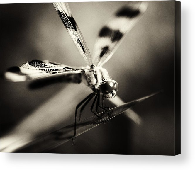 Dragonfly Acrylic Print featuring the photograph Determined Dragonfly by Heather Fox
