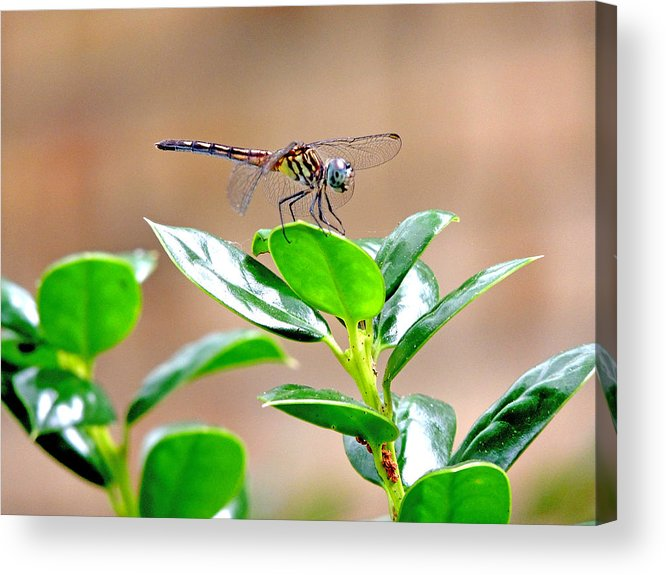 Damselflies Acrylic Print featuring the photograph Dragonfly by Marilyn Holkham